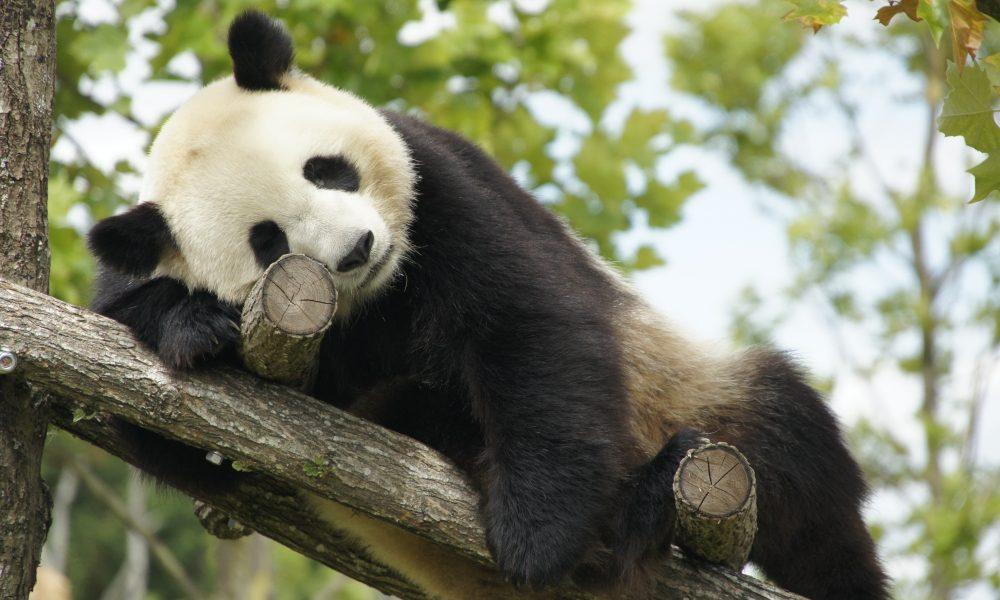 Panda-Zooparc de Beauval