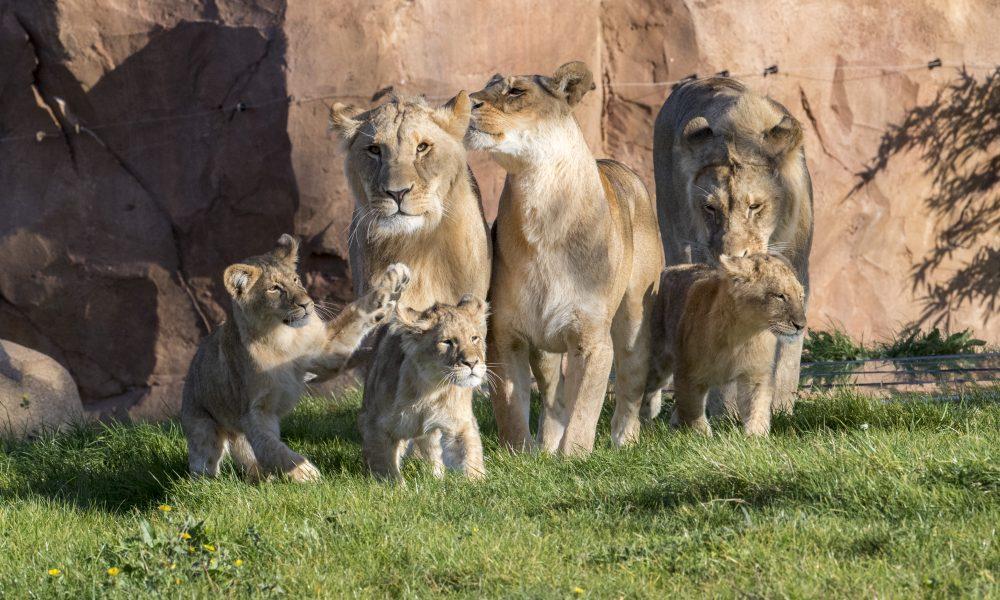 Lions-Zooparc de Beauval