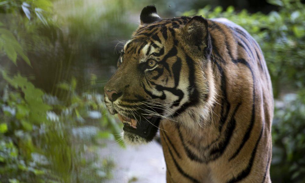 Tigres-ZooParc-de-Beauval