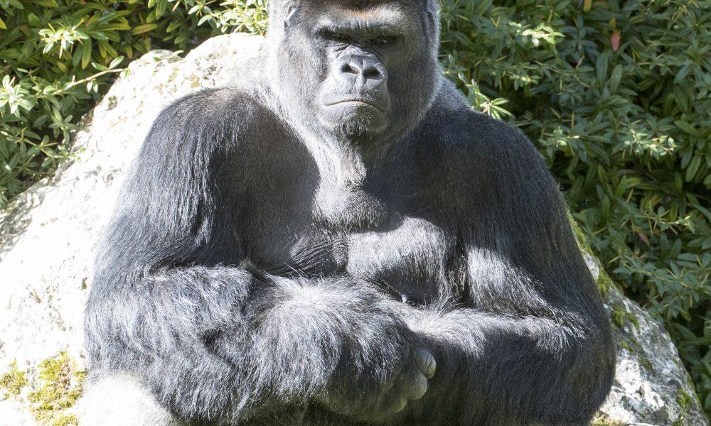 Asato-Gorilles-ZooParc-de-Beauval
