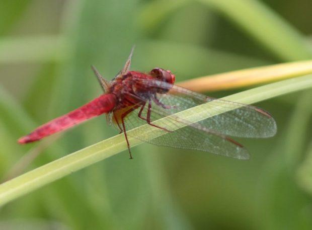 Sortie de terrain « Le monde surprenant des libellules » avec la Maison de la Loire 37